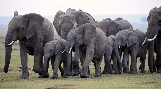 Elephants in Masai Mara, Kenya | Credit: Flickr/Ray Morris